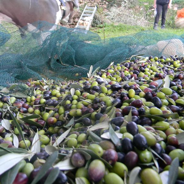 fitosanitario olive