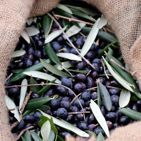 maturazione olive