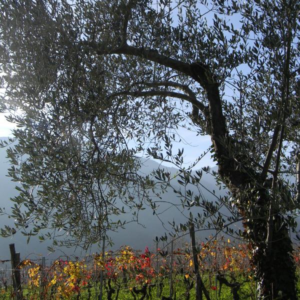 oliva taggiasca