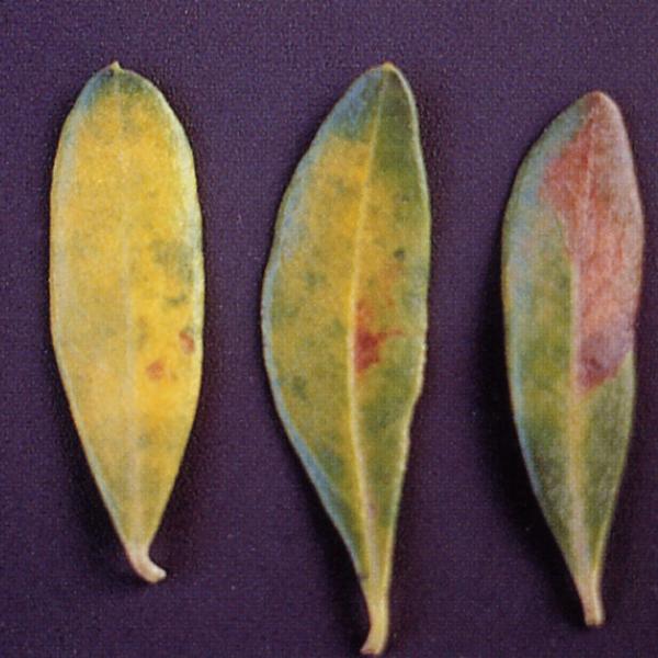 cercosporiosi olivo