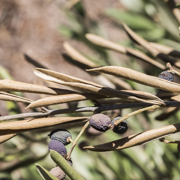 verticillosi olivo