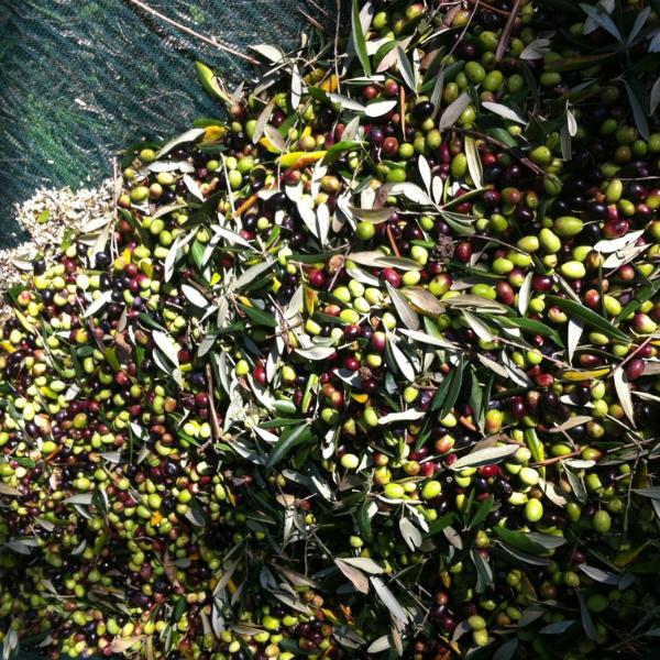 cultivar lavagnina