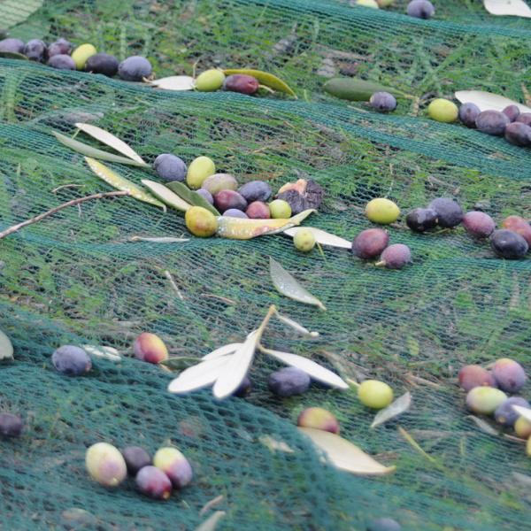 cultivar razzola
