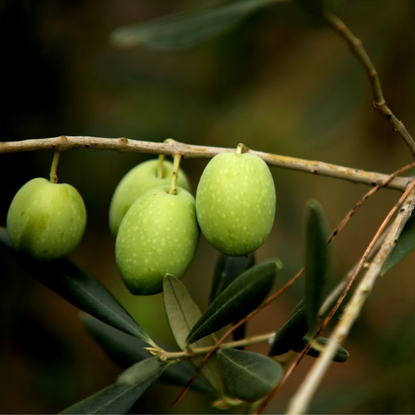 cultivar pignola